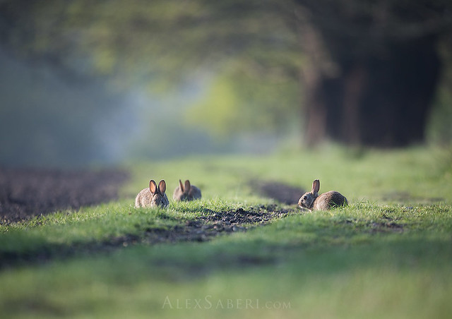 Rabbits in Richmond