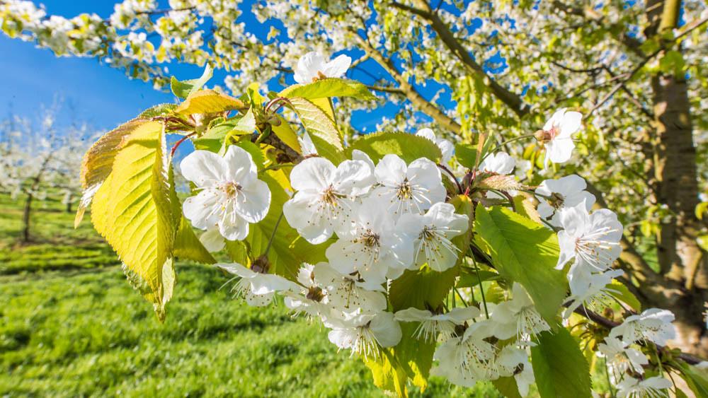 Kirschblüte_Eggenertal_2_063