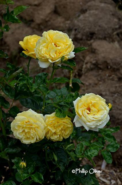 rose-michelangelo