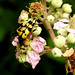 . Black and yellow longhorn Rutpela maculata  13–20mm. Slow-moving wasp mimic. Visits wood and hedgerow flowers.