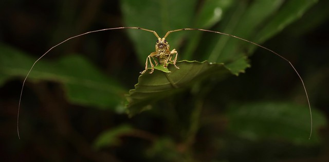 Antennae with a Longhorn Beetle (perhaps Acalolepta sp., Lamiinae, Cerambycidae) attached...