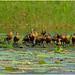 Wandering Whistling Ducks - Fogg Dam