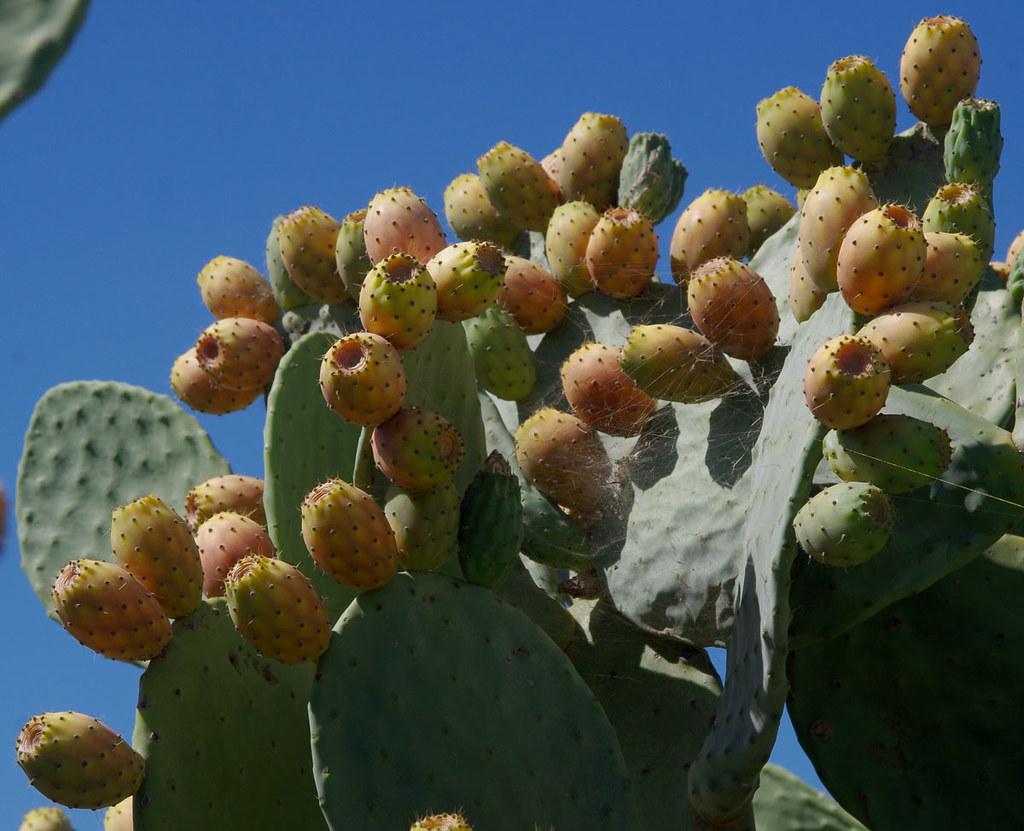 Opuntia Ficus Indica Forrestdale Near Perth Wa 19 02 1 Flickr