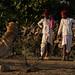Mela camels. Jalrapatan, Rajasthan. India.