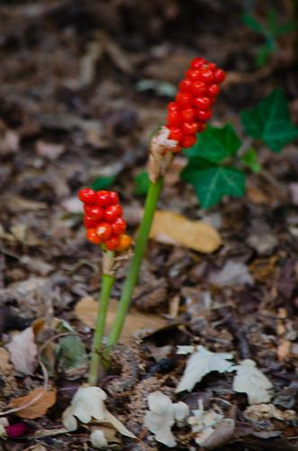 Red, green: arum berries ripening
