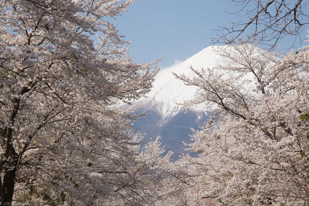 2018-04-13 忍野の桜 007