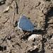 Holly Blue butterfly at Chesworth Farm, Horsham