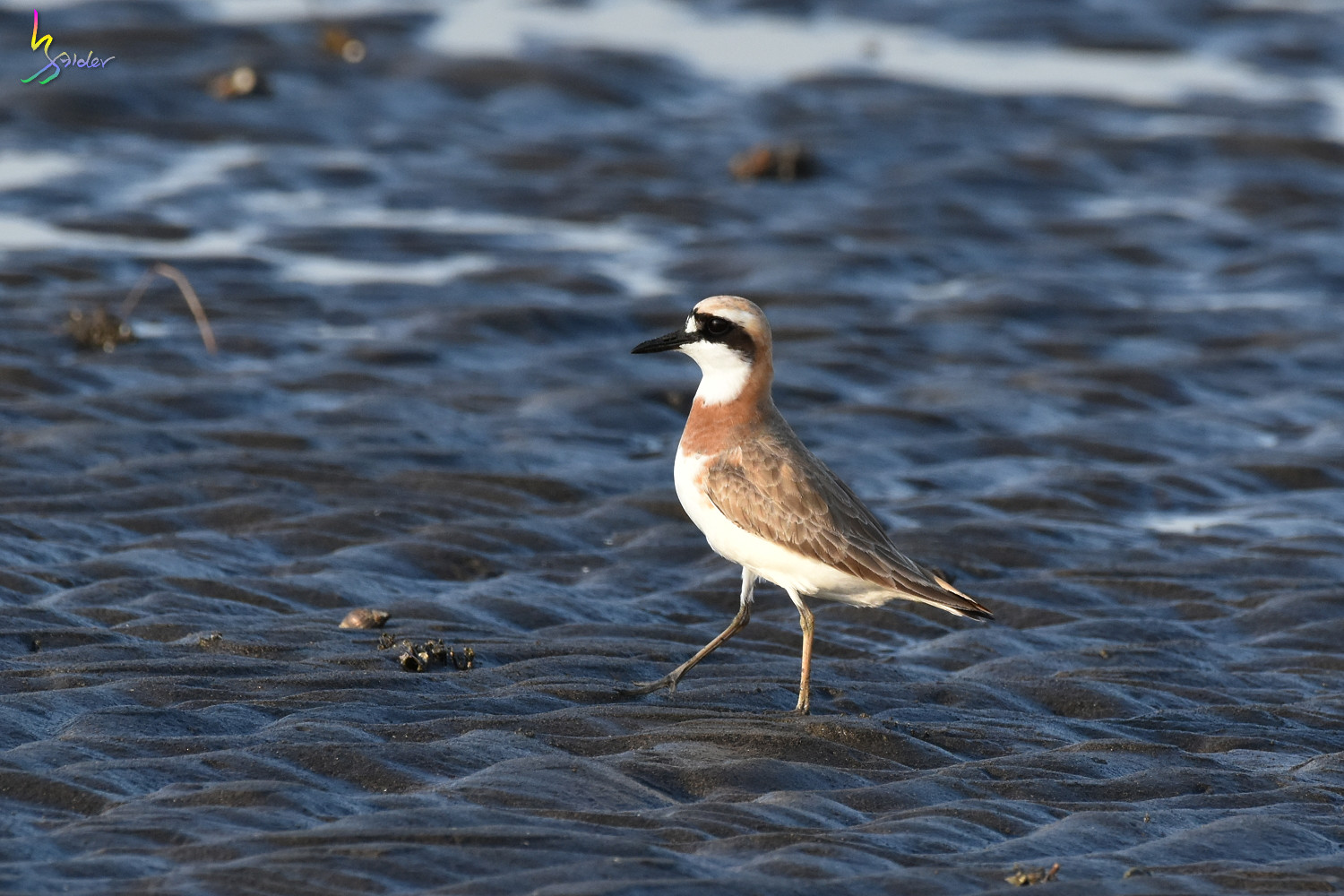 Greater_Sand_Plover_2041