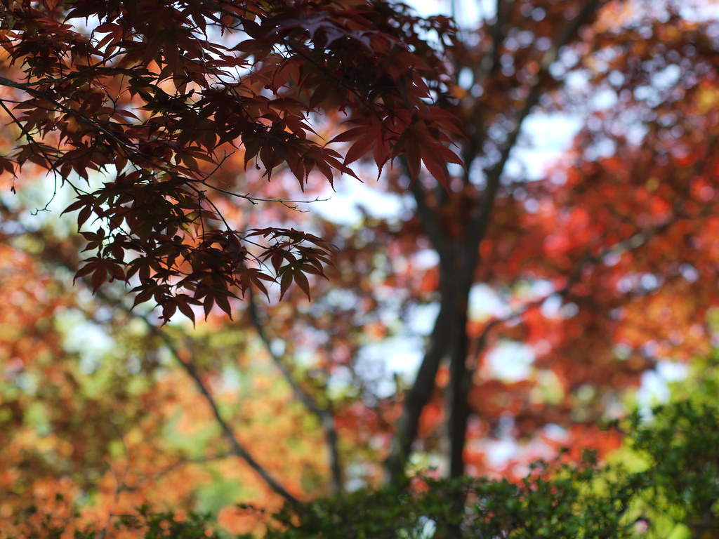 春もみじ:red leaves in  springtime