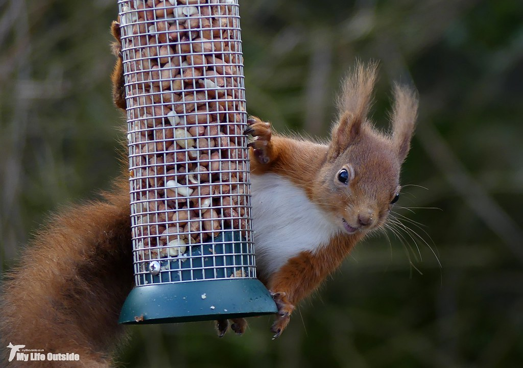 P1140079 - Red Squirrel