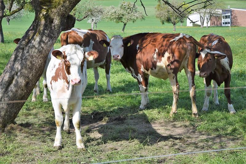 Cows 20.04 (6)