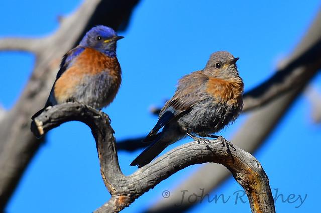 Western Mountain Blue bird, Nikon D810, AF-S VR Nikkor 500mm f/4G ED