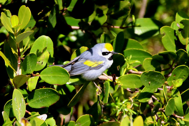 GOLDEN-WINGED WARBLER - In, Canon EOS REBEL T6I, Sigma 150-600mm f/5-6.3 DG OS HSM | C
