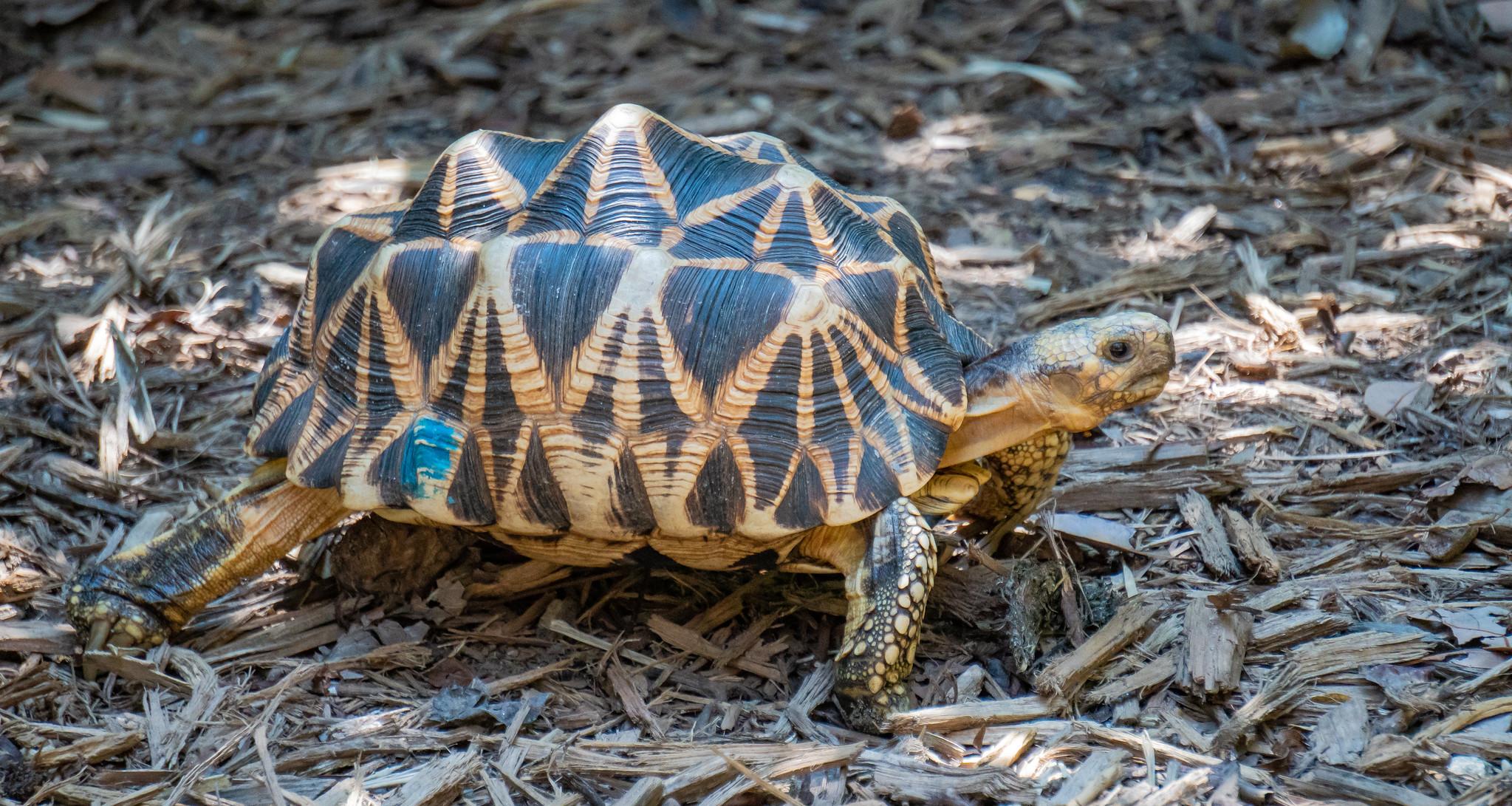 Burmese Star Tortoise_2