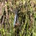 Keeled Skimmer (Orthetrum coerulescens) pair in copula.