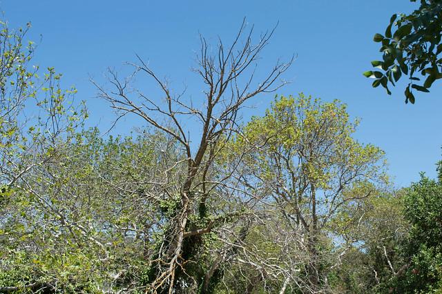 Διψάνε τα δέντρα στο Φασούλι