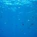 d3_plus posted a photo:ソラスズメダイ, Heavenly Damselfish,キンギョハナダイ, Sea Goldie,スズメダイ, Damselfishes,メジナ, Largescale Blackfish,沖ハヤマ, Reef OKI HAYAMA,ヒリゾ浜, Beach HIRIZO,南伊豆, South IZU,. #nikon #hirizo #Snorkeling #light_nikonNIKON 1 J4 + 1 NIKKOR VR 10-30mm f/3.5-5.6 PD-ZOOM + WP-N3