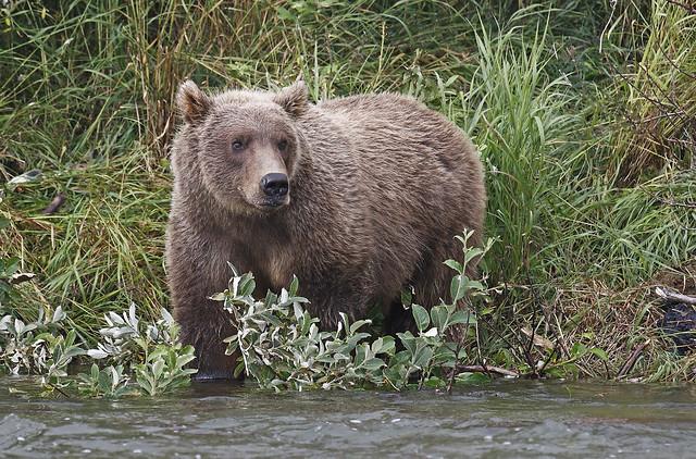 Brown Bear Glamour Shot