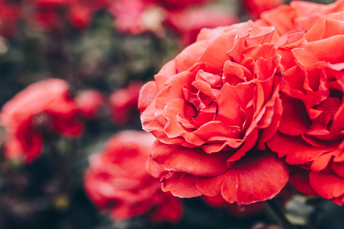 Close up of red rose in a rose garden | by wuestenigel