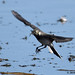pied wagtail 33 2018 juv in flight