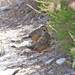 Dartford Warblers (f + fledgling)