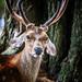 Sika Deer by moaan