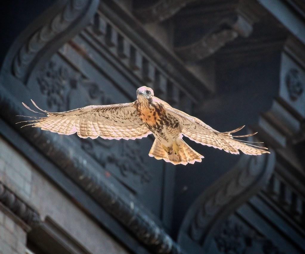 Tompkins fledgling A2 takes flight