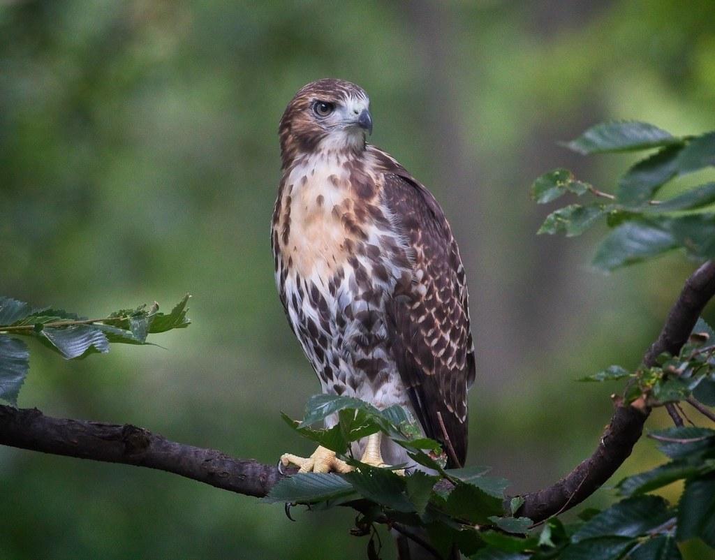 Tompkins hawk fledgling A2