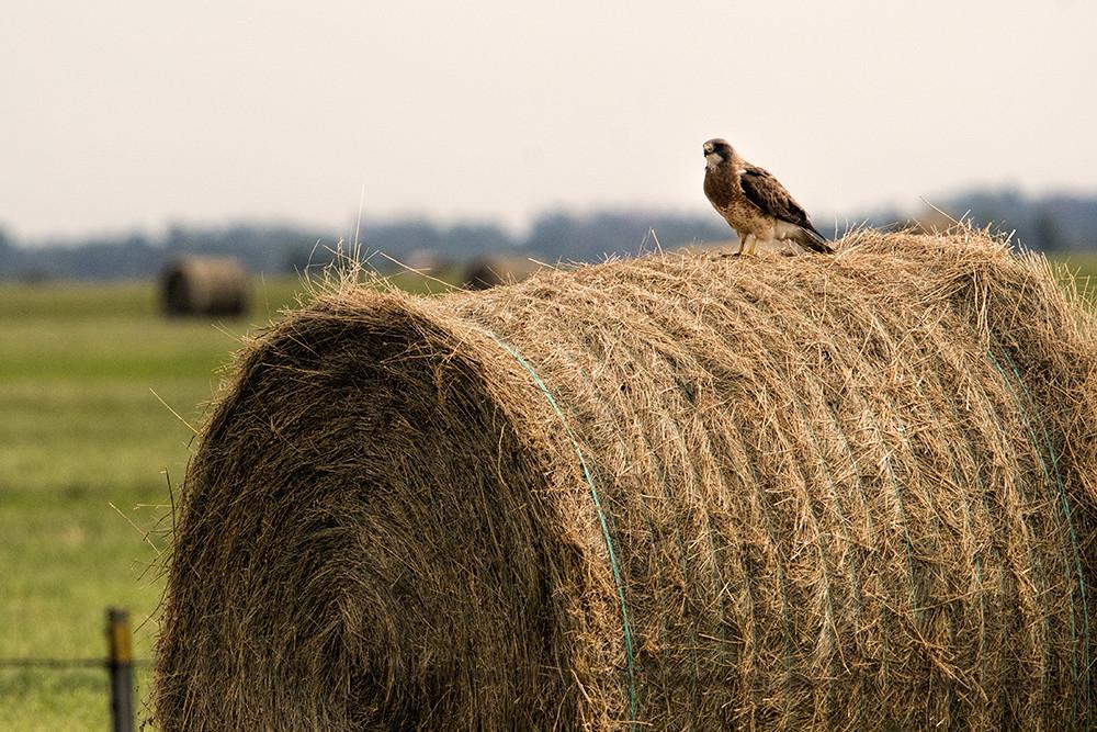 N.D.: Swainson's Hawk on Swainson's Hay Bale