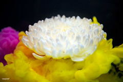 Abstract yellow color drop to the water flower shape