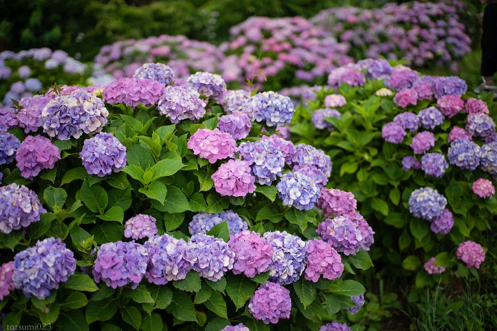 2018-06-16 開成町の紫陽花 002-3