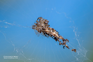 Trashline orb weaver (Cyclosa sp.) - DSC_4133