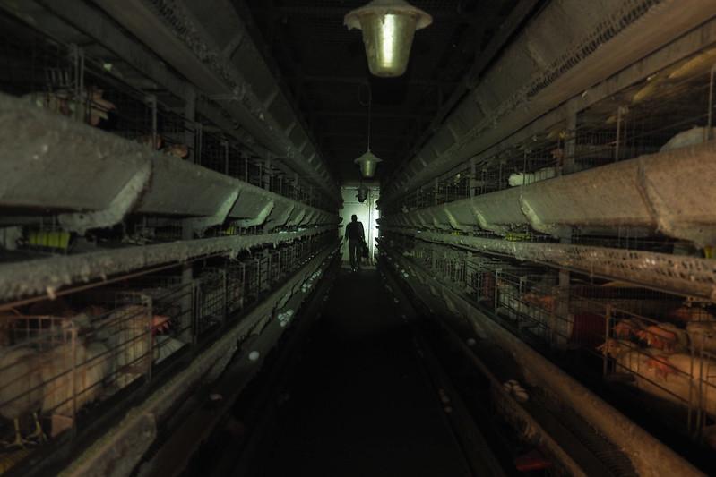Una vita in gabbia - Il destino crudele delle galline ovaiole in Italia