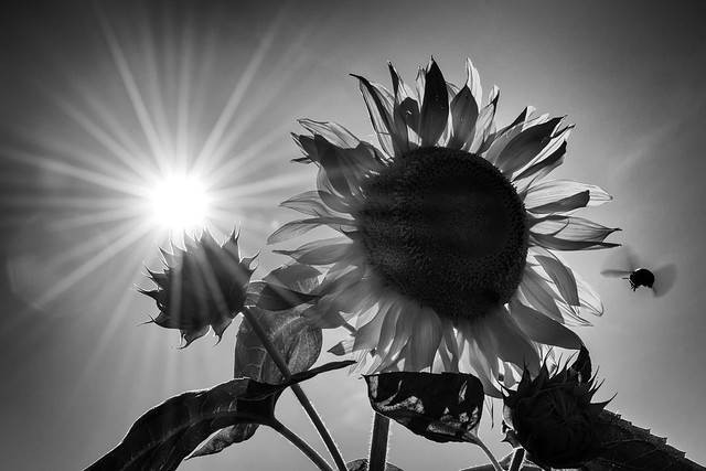 SUN FANGS 太陽の牙