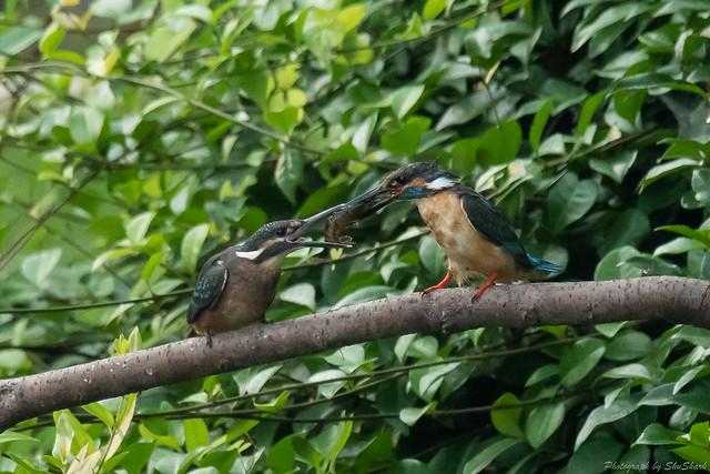 20180716-kingfisher-DSC_6790