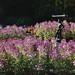 Maplelawn Garden, Westboro