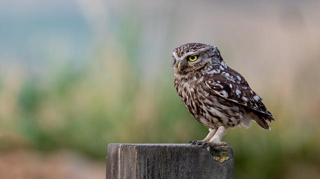 Little Owl, Canon EOS 7D MARK II, Canon EF 500mm f/4L IS