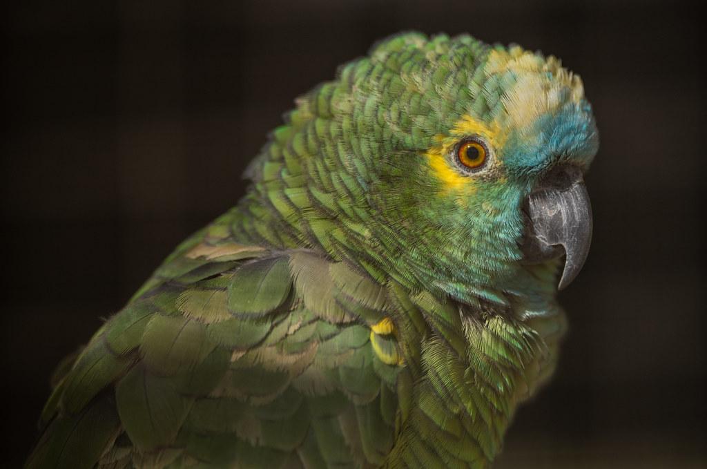 Amazon Parrot_1