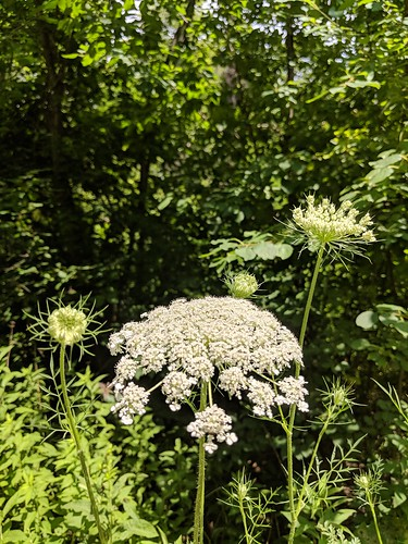Local trail with Queen Anne's Lace by irieknit