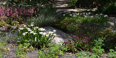 Pacific Coast Native Iris
