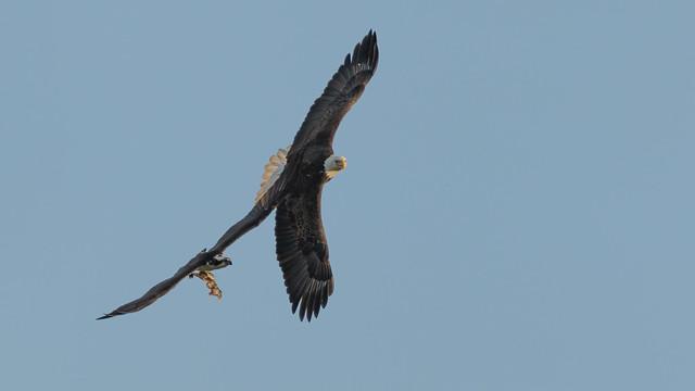 Osprey & Eagle Action