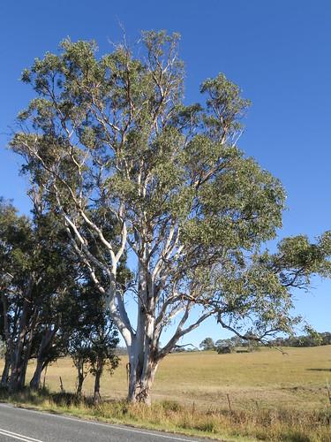 Eucalyptus glaucina plant NC3