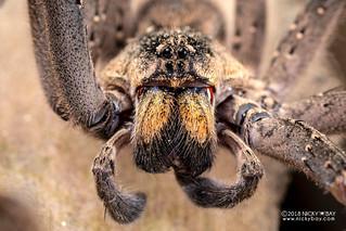 Wandering spider (Ctenidae) - DSC_5525b