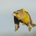Greenfinch by gazzamateur