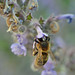 honey bee on Nepeta species by conall..