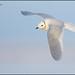 Ross's Gull (Rhodostethia rosea) by Glenn Bartley - www.glennbartley.com