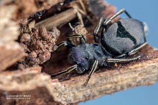 Jumping spider (Mexcala cf. elegans) - DSC_4609