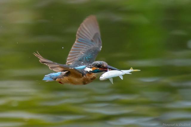 20180628-kingfisher-DSC_4621