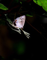 Purple Hairstreak high in the oaks