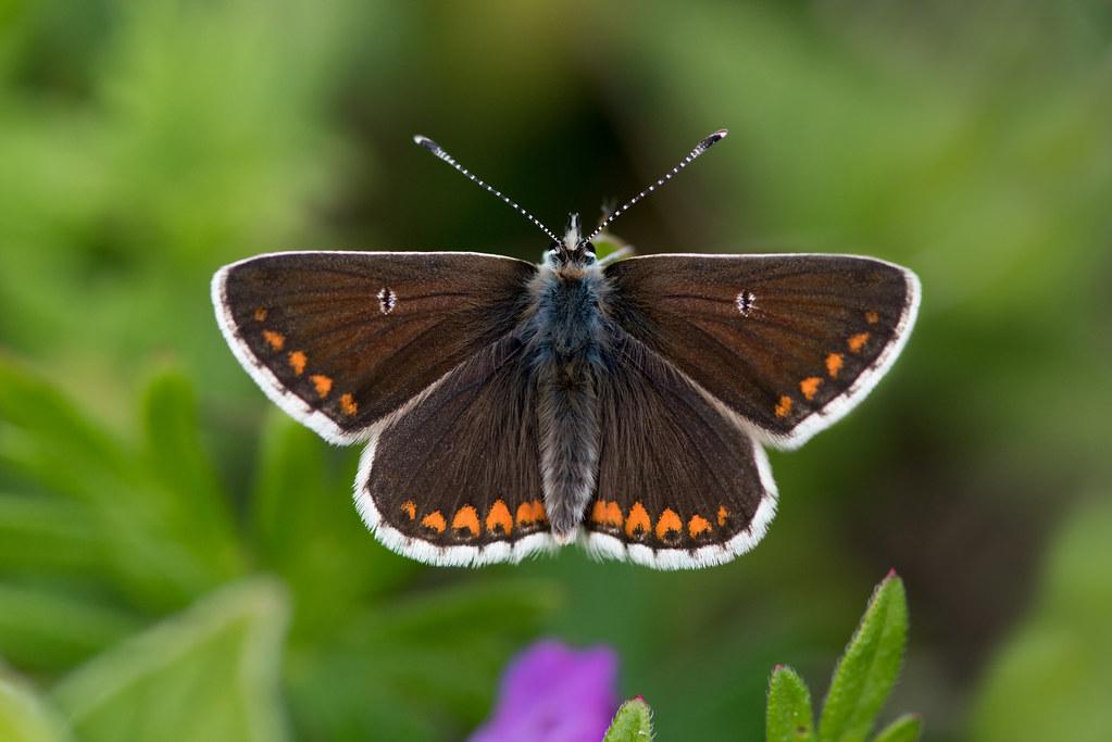 Northern Brown Argus (form salmacis)